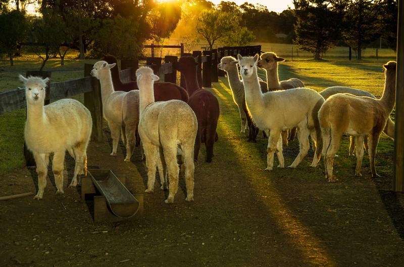 Stedephra Alpaca Flock