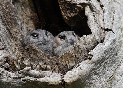Owls, Frogmouths and Nightjars
