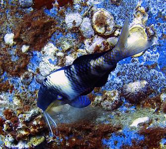 Goatfish (Mullidae)
