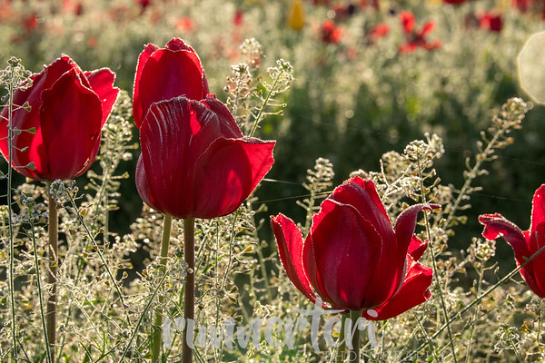 2019 Wooden Shoe Tulip Farm