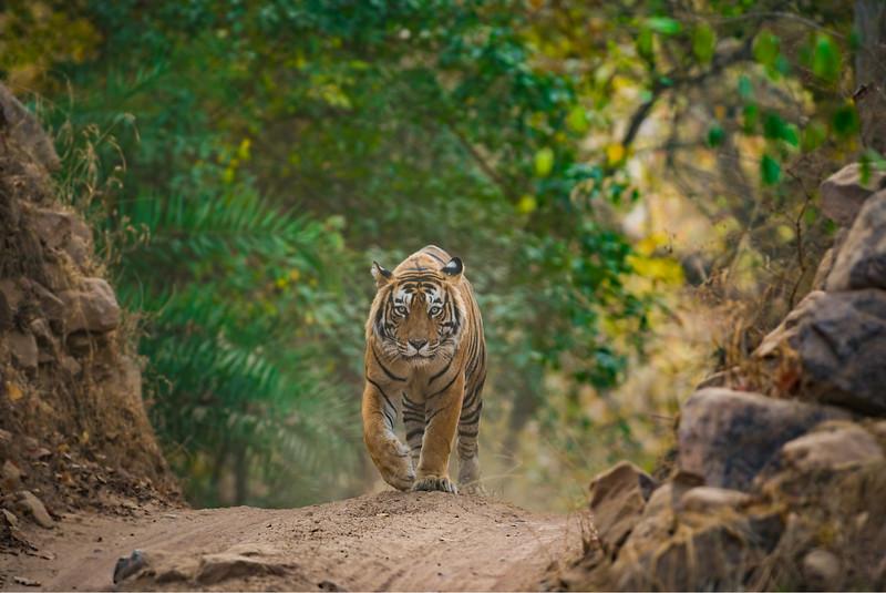 Tiger in Ranthambore National Park Rajasthan India