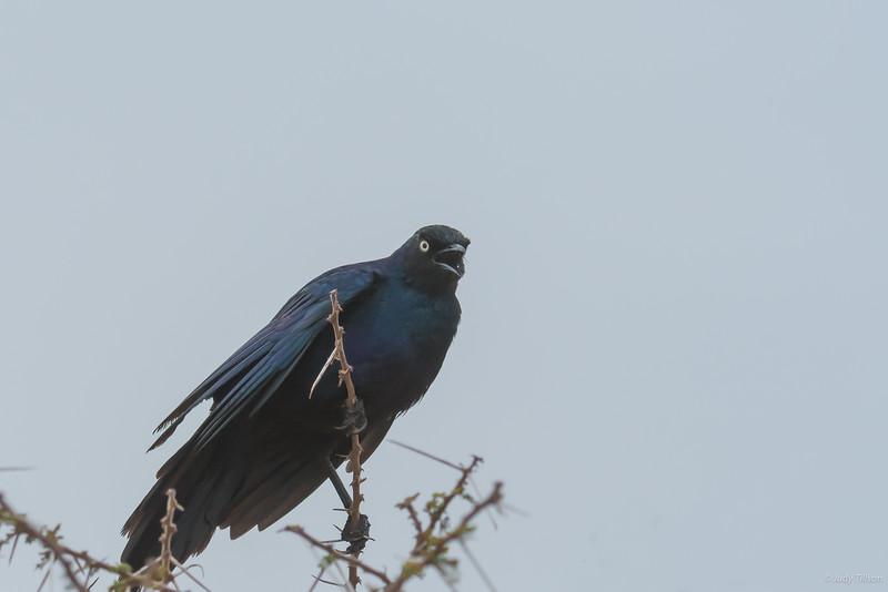 Serengeti National Park bird black currawong-5688.jpg