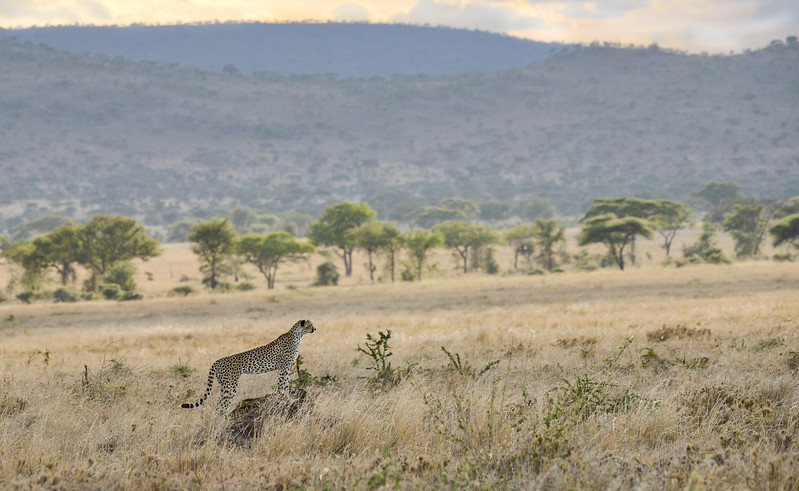 Cheetah-scanning-for-prey-serengeti-tanzania1.jpg