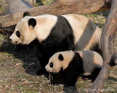Washington DC Zoo:  Pandas: Tai Shan: 1-27-2006