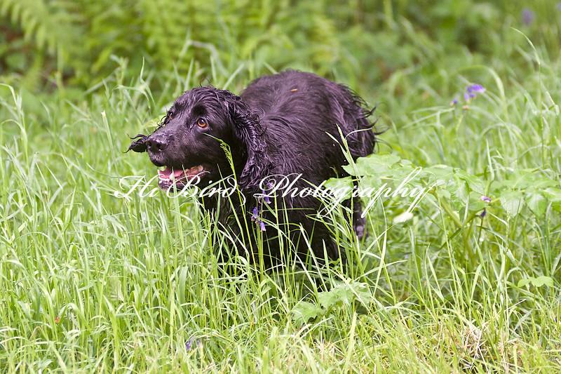 black cocker running 059.jpg