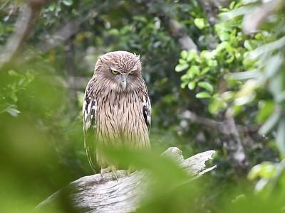Brown Fish-Owl (Ketupa zeylonensis)