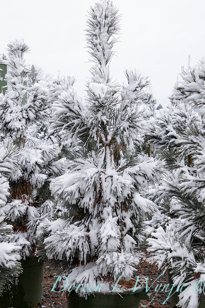 Pinus flexilis 'Vanderwolf's Pyramid' can yard in snow_4181.jpg