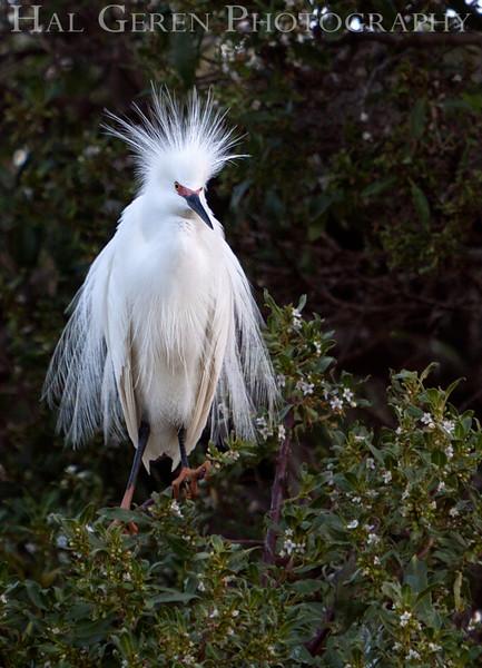 Snowy Egret Newark, California 1304N-SE6