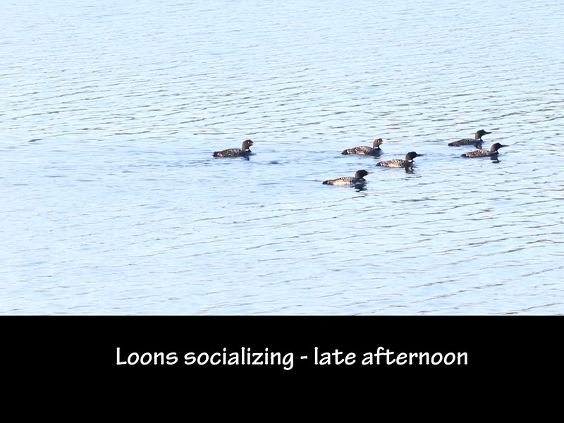 The Loons of Damariscotta Lake slides.043.jpg