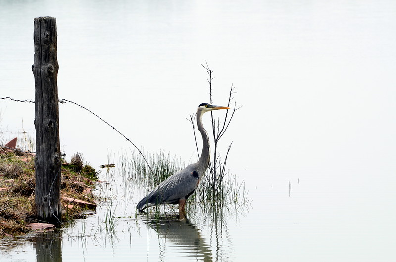 Blue Herron - McIntosh Lake.JPG