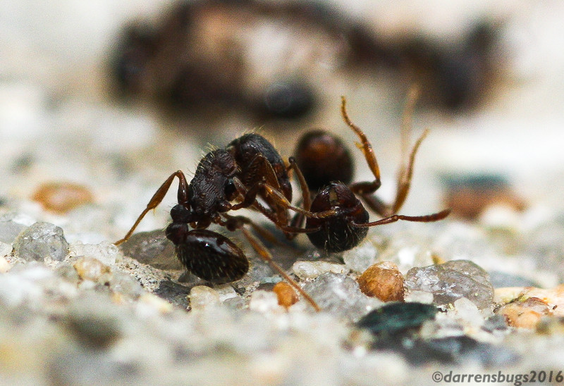 Two Pavement Ants (genus Tetramorium) square off in the midst of a springtime battle for territory between neighboring colonies in Iowa.