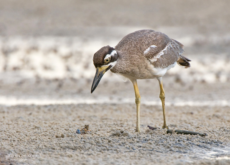 Beach Stone-curlew, Inskip Point, Qld, Aus, May 2011.jpg