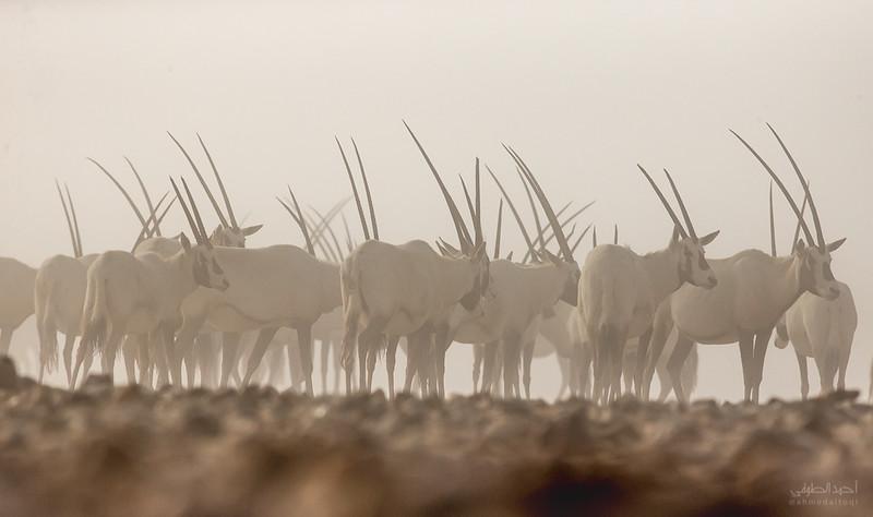Arabian Oryx (43).jpg