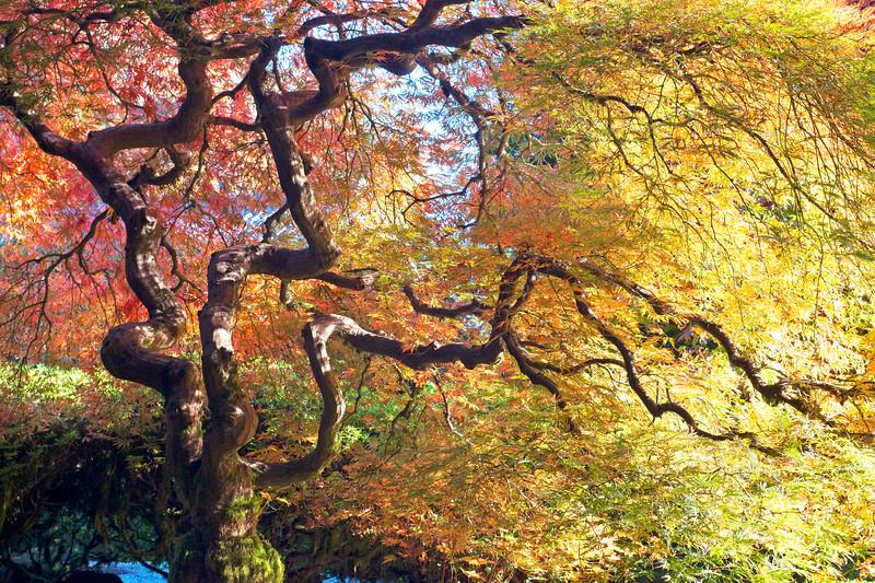 Japanese Maple Japanese Gardens Portland