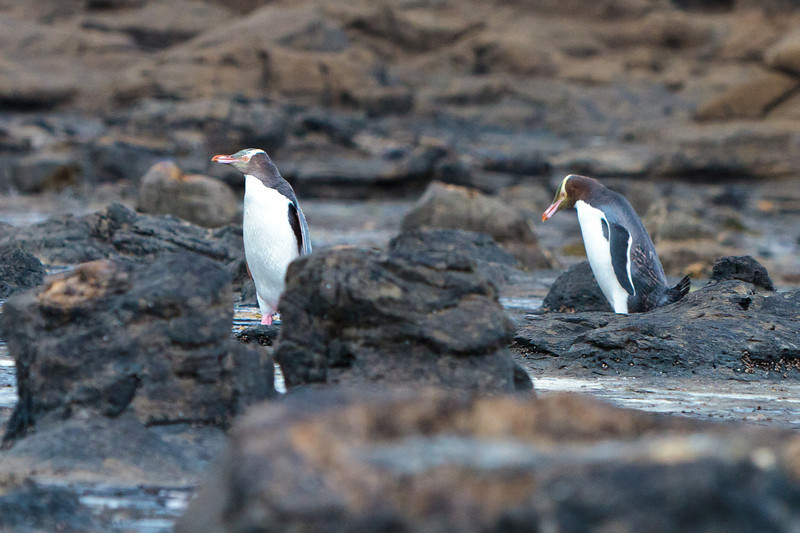 New Zealand - Curio Bay - Penguins coming in for the night
