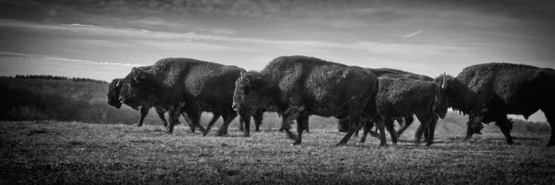 Buffalo-6.jpg
