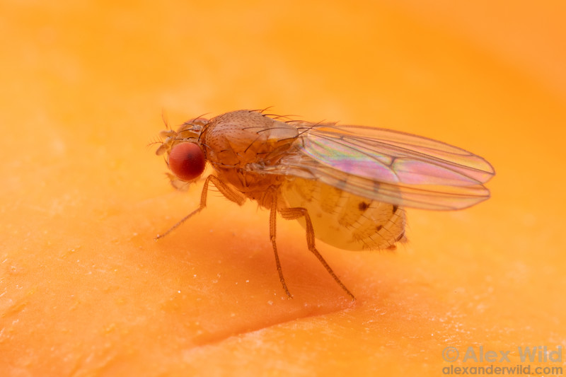 Drosophila putrida