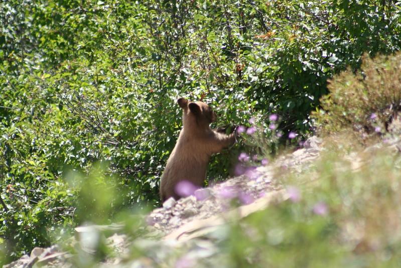 20110828 - 050 - GNP - Bear Cub Along Road By Many Glacier Hotel.JPG