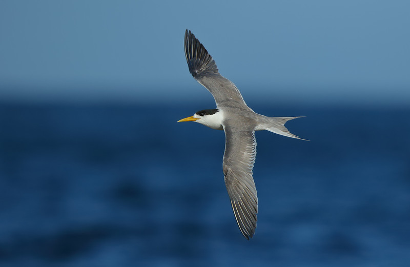 Crested Tern banking MASTER.jpg