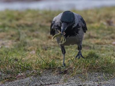 Kråke hamstrer mat
