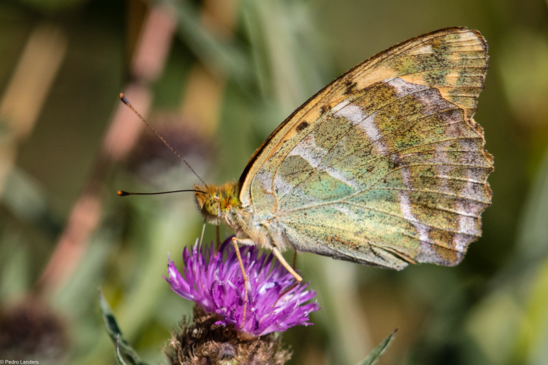 Silver-Washed Fritillary - Underwing