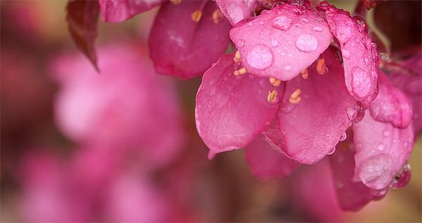 PinkFlowersAndRain.jpg