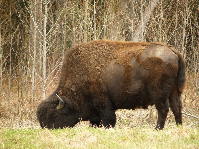 Bison - at one point, they cross the highway, leaping over a concrete barrier. I just had a bison burger for lunch when we came across this herd.
