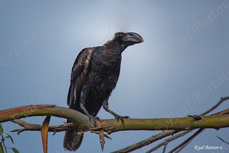 HICK-BILLED RAVEN (Corvus crassirostris)