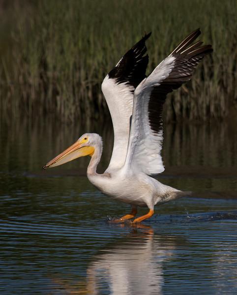 American White Pelican flight series (frame 4)