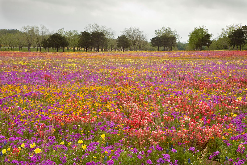 Texas wildflowers with spring trees