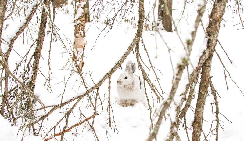 Snowshoe Hare Warren Nelson Memorial Bog Sax-Zim Bog MNIMG_0833.jpg