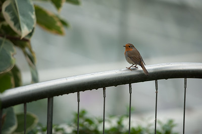 Robin on a Rail