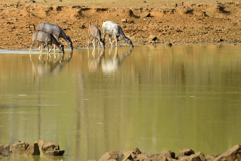 Samabar-deer-at-the-waterhole.jpg