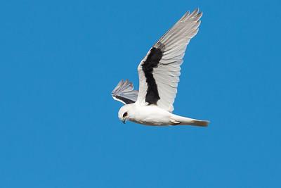 Letter-winged Kite