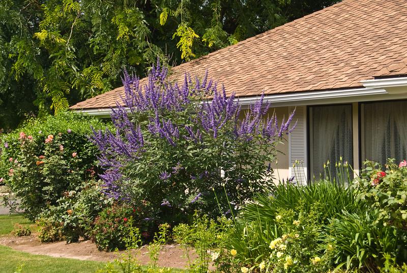 Cooke's Purple Vitex agnus-castus in a landscape