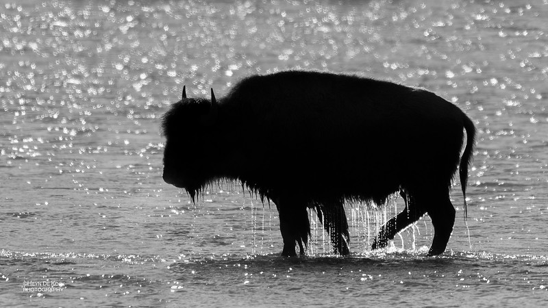 Bison, Yellowstone NP, b&w, WY, USA May 2018-1.jpg