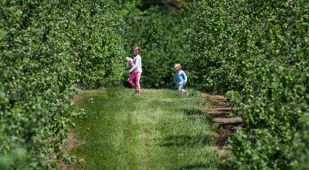 . Kate and Will Eriksen of Bolton wander through the orchards during the Apple Blossom Festival at Sholan Farms in Leominster. SENTINEL&ENTERPRISE/ Jim Marabello