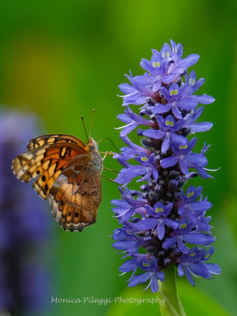 Butterflies,  Bees, Dragonflies, Hummingbird Moths, 2020 In Maryland