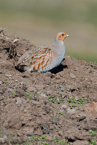 Gray Partridge, Perdix perdix