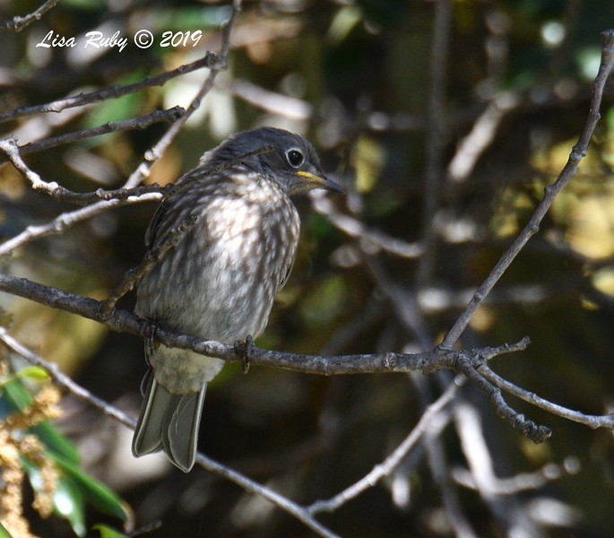 Juvenile Western Bluebird  - 5/24/2019 - Robb Field