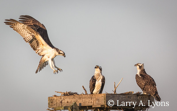 The Osprey Comeback