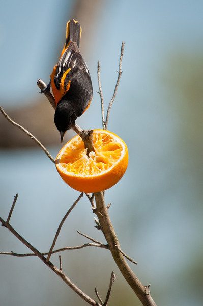 """Baltimore Orioles sometimes use their slender beaks to feed in an unusual way, called """"gaping"""": they stab the closed bill into soft fruits, then open their mouths to cut a juicy swath from which they drink with their brush-covered tongues. Fond of fruit and nectar as well as insects, Baltimore Orioles are easily lured to backyard (and campsite) feeders.Text credit: The Cornell Lab of Ornithology"""