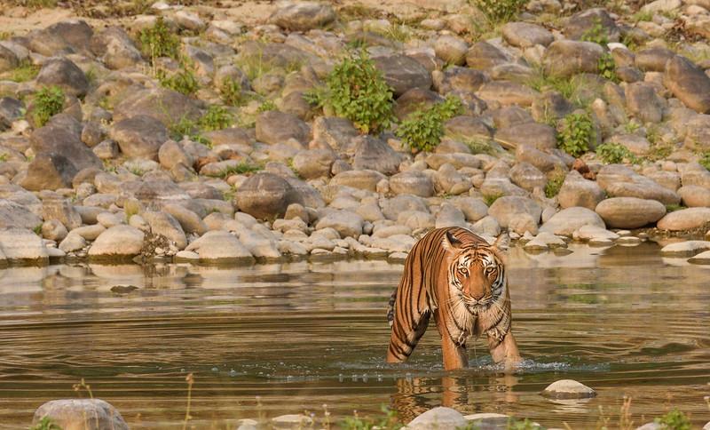 Tigress-Paarwali-Corbett-Dhikala3.jpg
