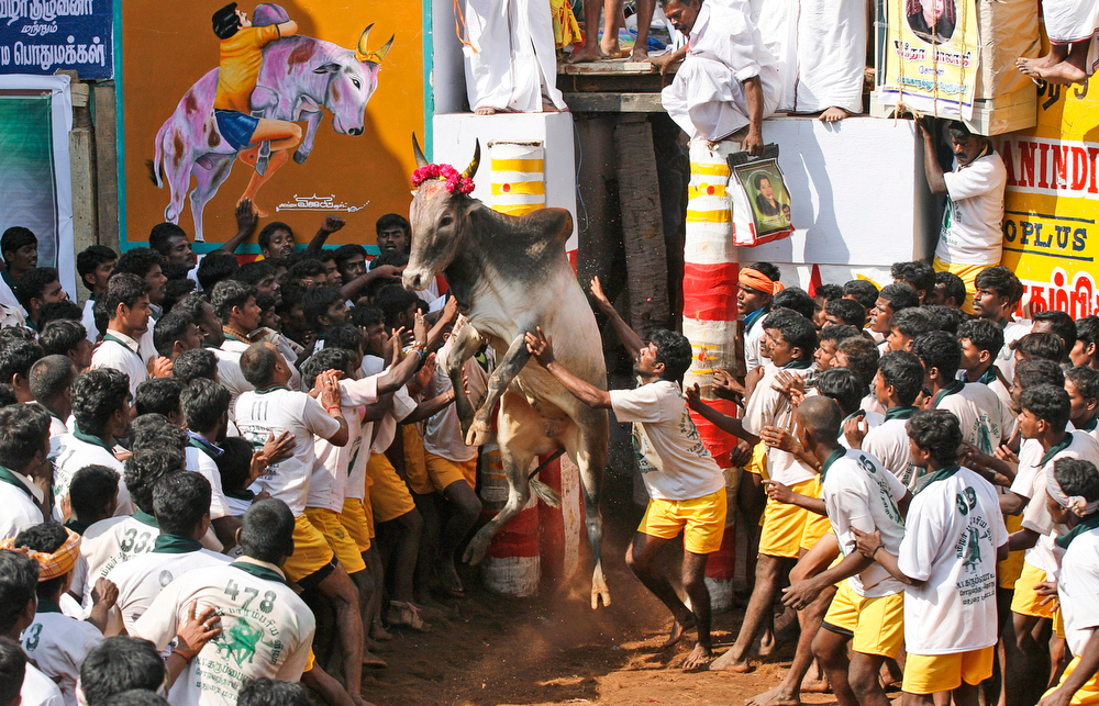 Description of . A bull charges out from an enclosure during the bull-taming sport called Jallikattu, in Alanganallur, about 530 kilometers (331 miles) south of Chennai, India, Wednesday, Jan. 16, 2013. Jallikattu is an ancient heroic sporting event of the Tamils played during the harvest festival of Pongal. (AP Photo/Arun Sankar K.)