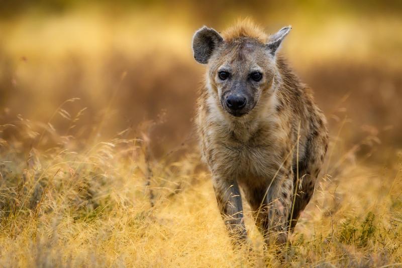Hyena in Crater.jpg
