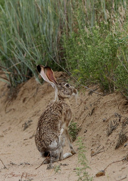 Kansas Blacktailed Jackrabbit.jpg