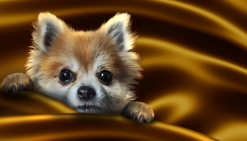 gold-dogdog.jpg
