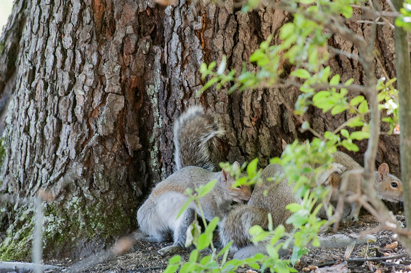 Grey Squirrel mating  ménage à trois threesome