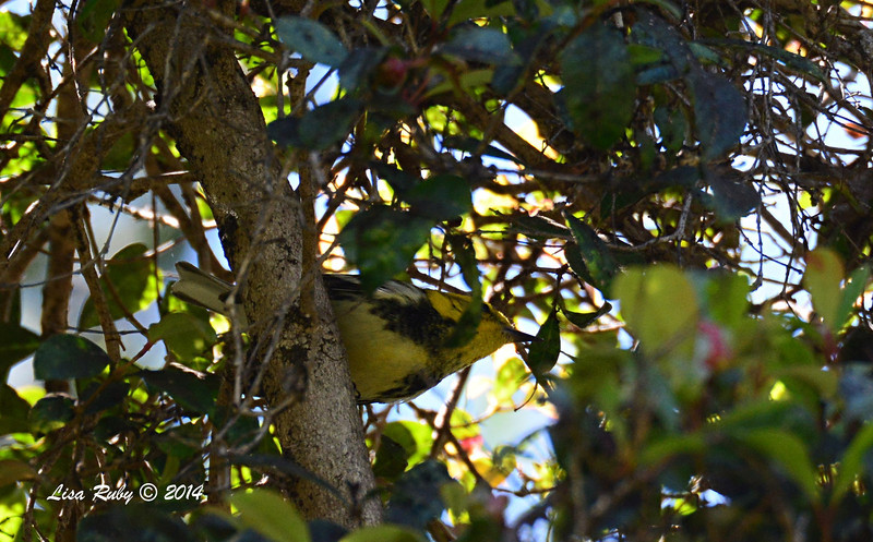 Black-throated Green Warbler - 3/14/2014 - Greenwood Cemetery