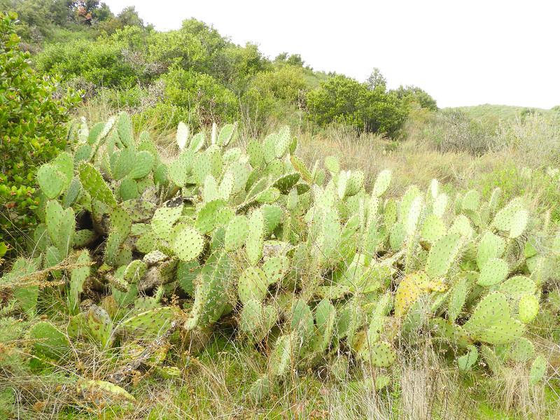 Prickly Pear Cactus (Opuntia oricola) CACTACEAE